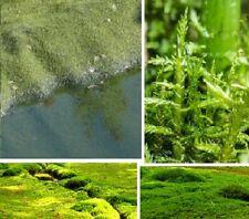 Spießmoos immergrün winterhart wächst submers emers Wasserpflanzen am Teichrand