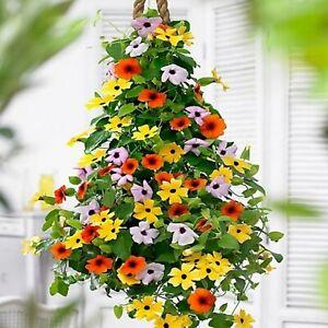 Black-eyed Susan Vine Mix - Thunbergia alata - Annual Flower Seeds