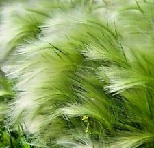 2 Stipa tenuissima AGM Pony Tail plug Feather grass semi evergreen Exposed site