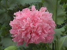 Peony Poppy- Bombast Rose- 100 Seed - 50 % off sale