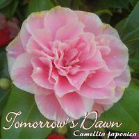 "Kamelie ""Tomorrows Dawn"" - Camellia japonica - 3-jährige Pflanze"