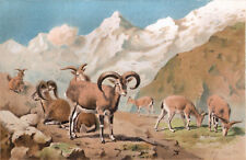 Bharal 1894 Sheep - Mammals - Pierre Jacques Smit Victorian Chromolithograph