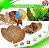 Indian Almond Leaf HALOS | Catappa Ketapang | Naturally Aged & Dried Free Ship