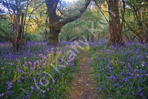 Meldon Woods Bluebells 2 Dartmoor Devon Photo Art Print Canvas (UK)