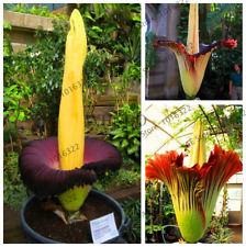 10 PCS Seeds Corpse Flowers Titan Arum Plants Bonsai Ornamental Free Shipping N