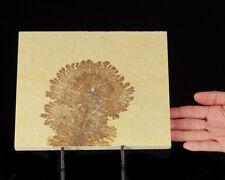 "8.5"" Tree-Like Multi-Branching Manganese DENDRITES Solnhofen Germany for sale"