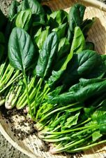 200 SPINACH BLOOMSDALE SEEDS VEGETABLE COMBINED SHIPPING HEIRLOOM NON-GMO SPRING