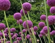 Purple Giant Allium Giganteum Flower Seeds 80 Seeds --BUY 4 ITEMS FREE SHIPPING