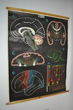 Vintage 1949 Dr Auzoux P sougy Adam rouilly color cartel médico cerebro Gráfico