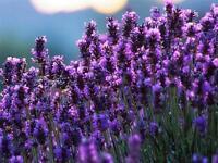 Seeds Lavender Officinalis Medicinal Herb Plant Organic Russian Ukraine