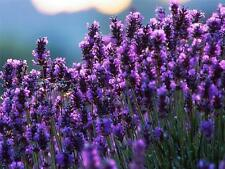 Seeds Lavender Officinalis Medicinal Herb Plant Organic Russian Ukraine