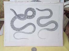 Vintage Print,TYPES OF GARTERS,Pl 15,Exploration+Surveys,1853-55,Snakes