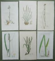 6 Antique Prints Sowerby 1st Edition Carex Plantain Grass Rush HandColoured 1794