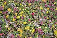 Fairy Flower Seeds Sedum Species Mixed x100 seeds, for your rock garden