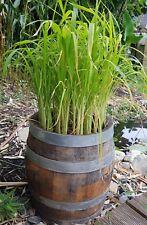 echter Reis Samen, Oryza sativa ssp. japonica Ernte nach 4-5 Mon. möglich