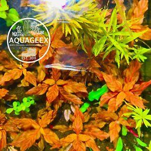 High Quality Alternanthera Reineckii Rosanervig Aquatic Aquarium Live Plant Rare