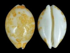 Cypraea mariae - Shells from all over the World NEW!!!