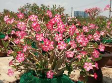 10 Seeds Fresh Adenium Arabicum RCN Ra Chi Nee Pan Dok Free shipping