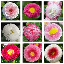 English Daisy Double Mix 500 seeds * Elegant * Beautiful * Cut flower CombSH A67