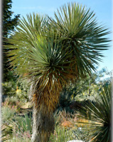 Yucca thompsoniana 'Oregon' (Thompson Yucca) COLD HARDY zone 5! (10 Seeds)