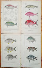 CUVIER Lot of 4 Original Colored Prints Fish (H)  - 1837