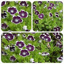 Gefleckte Hainblume Nemophila maculata Bienenweide Balkonpflanzen