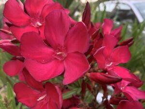 3 Oleander Stecklinge - PASEO - neue seltene Rarität mit dunkelroter Blüte