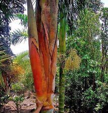 Dypsis sp. Jurassic Park Palm 10 seeds