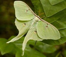 Luna Moth Eggs/Ova x 30 Giant Silk Moth