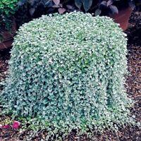 100 pcs Dichondra Repens Silver Falls Emerald Falls Ground Cover Seeds Ponysfoot