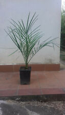 Pianta palma Phoenix Canariensis palma delle canarie h 70-80 cm