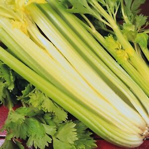 Vegetable Celery Golden Self Blanching Appx 2000 seeds