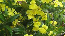 Goodenia ovata - Native Primrose 15 seeds