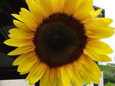 SUNFLOWER SEEDS YELLOW GIANT (10 SEEDS)