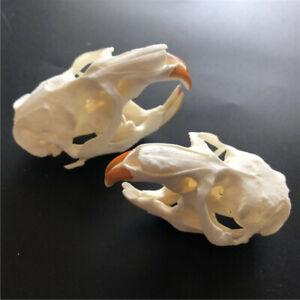 2 pcs animal skull real muskrat skull collection specimen crafts about 8x4cm