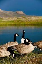 CANADA GOOSE (FLOCKING & ADHESIVE) BLACK OR WHITE 50 HEAD 1/2 LBS DUCK DECOY