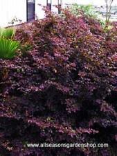 "Loropetalum 'Ruby"" fringe flower pink flowering shrub, FIVE plants"