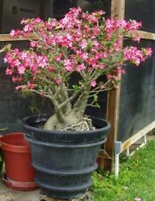 Exotic African Desert rose Bonsai seeds fresh from Canada