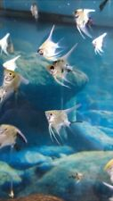 6 live aquarium golden marble angel fish. Will ship on Monday or Tuesday