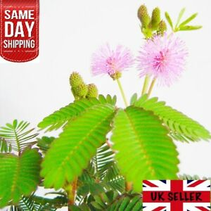 Mimosa Pudica FRESH seeds. Sensitive plant Touch Me Not. Same Day Dispatch