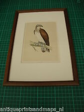 Antique framed bird print Osprey / Pandion haliaetus antieke vogelprent Visarend