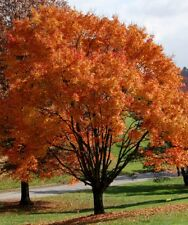 Acer rubrum October Glory, Red Maple Tree grown peat free as 3L pot plant, 3ft