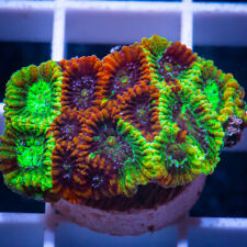 Unique Corals Wysiwyg, Grafted Micro Lord