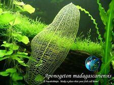 Madagascariensis x5 # Live aquarium plant fish tank WS