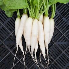 200 White Icicle Radish 2020 (all non-gmo heirloom vegetable seeds!)