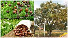 Soapnut , Sapindus Saponaria  ( nuez de  lavado ecologico ) , 5 unidades - unit