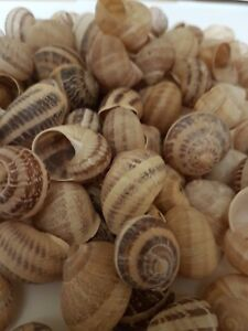 For Shelldwelling Cichlids / Tank Decor - 200 shells