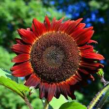 "Sunflower RED SUN 5-6' Bronze/Maroon Flowers 6"" Pollinators Non-GMO 25 Seeds!"