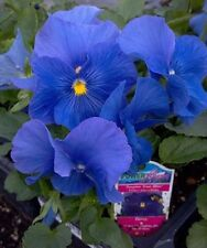 0.2g (~200) true blue large pansy seeds VIOLA X WITTROCKIANA stunning sky blue c