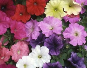 60 PETUNIA F2 FANCY PANTS MIXED SEEDS Half Hardy Annual Flower UK Fast Depatch